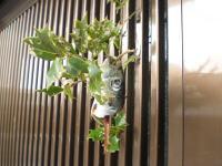 ヒイラギにいわしの頭をさして、玄関に飾っています。