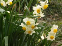 香りが強い花ですが、子供の頃から親しんでいる花で、見ているとほっとします。